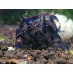 TIGER BLUE YEUX ORANGE