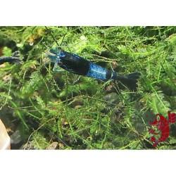 BLUE RILLI