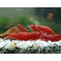 Crevettes sol neutre